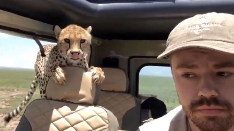 Un guépard s'invite dans une voiture de touristes — Safari en Tanzanie