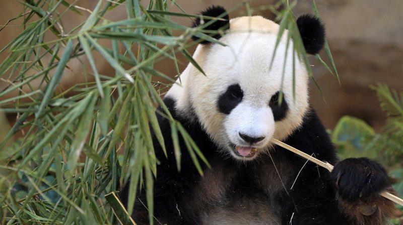 Chine: un parc de la grandeur de la Belgique pour lespandas