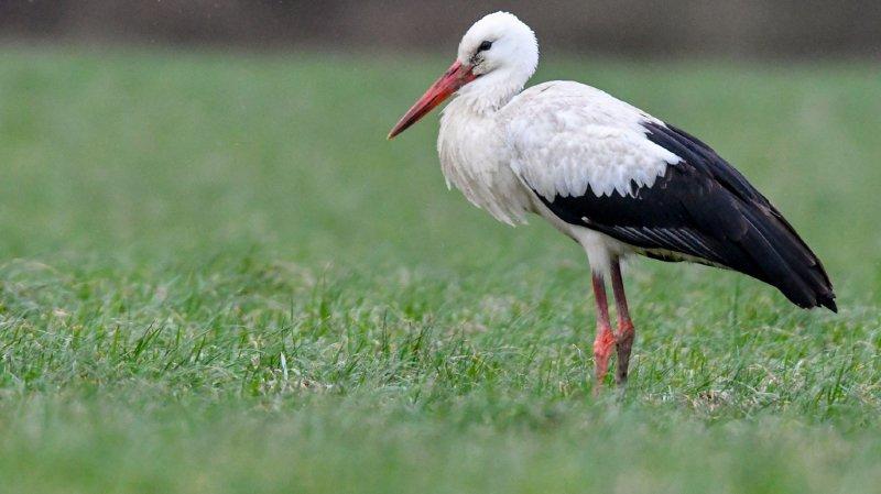 C'est d'abord la cigogne blanche qui revient de ses quartiers d'hiver. Les premières sont déjà arrivées sur leurs nids. Certaines ont toutefois passé tout l'hiver en Suisse. (illustration)