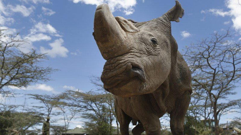 Espèces en voie d'extinction: le dernier rhinocéros blanc du Nord mâle est mort