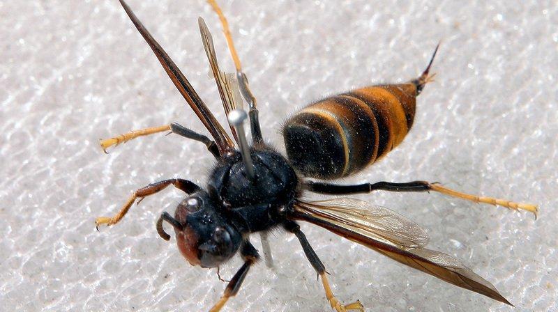 Les autorités jurassiennes se préparent à lutter contre le frelon asiatique, un prédateur dévoreur d'abeilles.