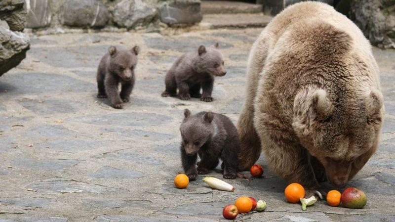 Les trois oursons commencent à sortir de manière plus régulière pendant la journée.