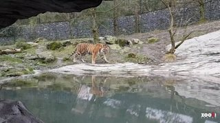 Le tigre Sayan explore le zoo de Zurich