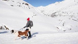 Des chiens saint-bernard montent à l'hospice malgré la neige