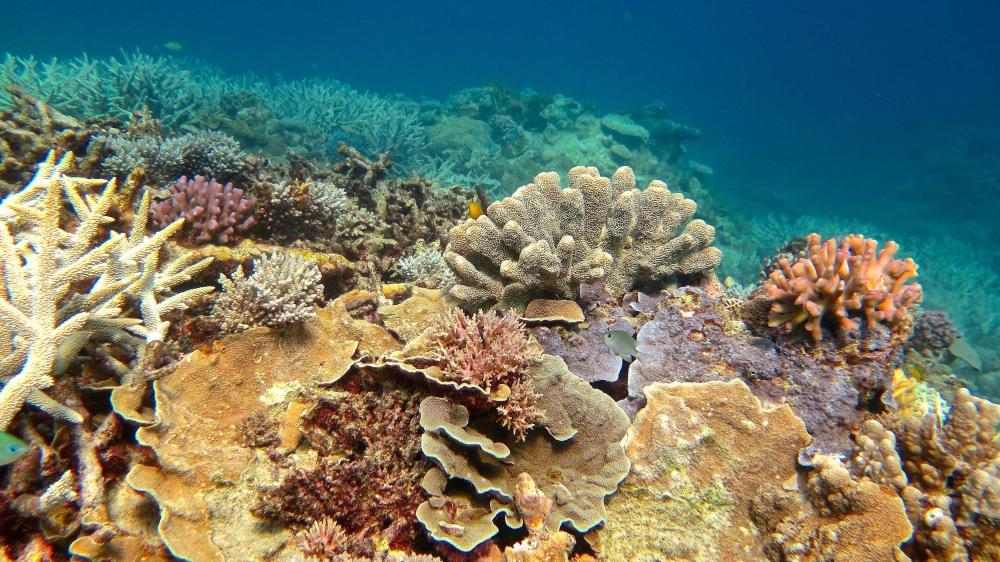 Environ 30% des coraux  de la Grande Barrière sont morts durant la vague de chaleur survenue entre mars  et novembre 2016.