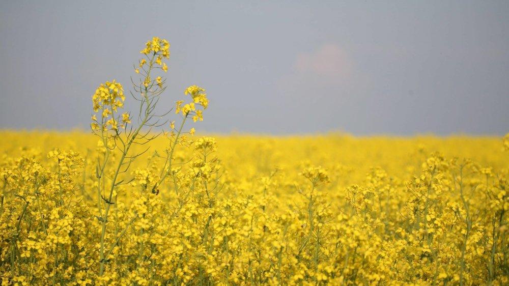 Colza classique ou colza HOLL? Impossible de le dire d'après la photo, car seule la composition de l'huile issue des graines change.