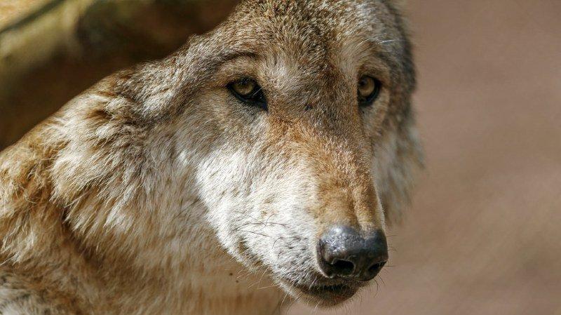 Faune: un loup a été aperçu au bord du lac de Zurich et un ours sur les rives du lac de Thoune