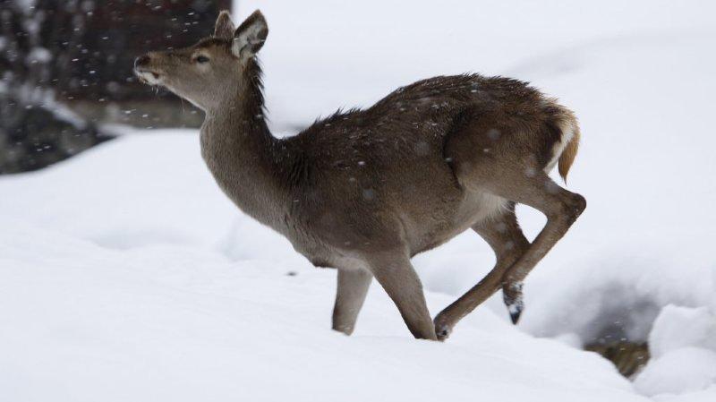 Saint-Gall: une biche portante dévorée par un loup près d'une école