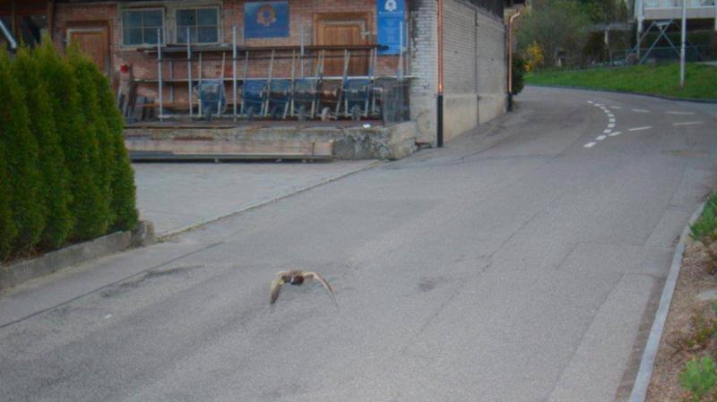 Köniz (BE): un canard flashé à 52 km/h dans une zone limitée à 30 km/h