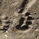 Sortie traces et indices des animaux sauvages