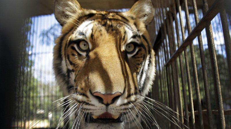Deux lions, deux tigres et un jaguar se sont échappés vendredi d'un zoo en Allemagne. (illustration)