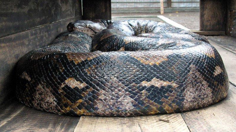 Indonésie: une femme dévorée par un python géant de sept mètres