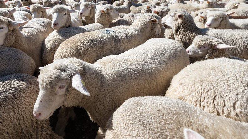 Allemagne: un train des CFF écrase 45 moutons échappés de leur enclos