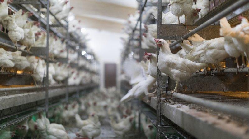 L'initiative veut souligner que l'élevage intensif viole les droits des animaux.
