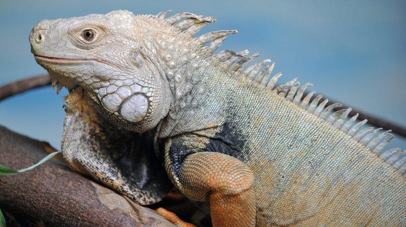 Equateur: transfert d'iguanes aux Galapagos, pour cause de surpopulation
