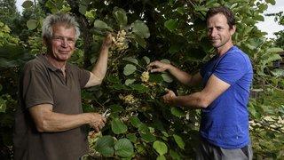 Allaman: un nouveau gérant à la tête de la plus grande plantation de kiwis bio de Suisse