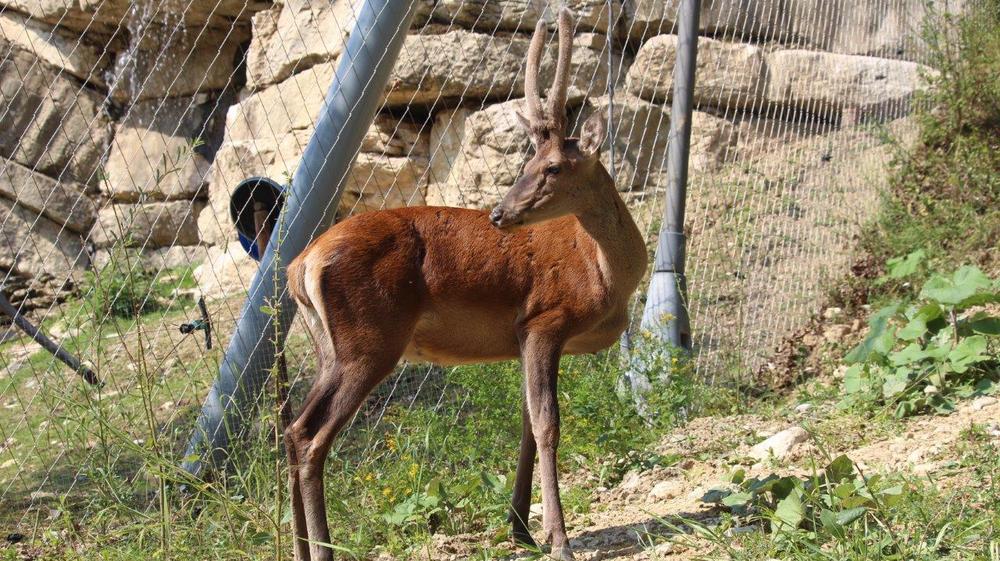 Le jeune cerf est arrivé à la Garenne le 13 juillet dernier.