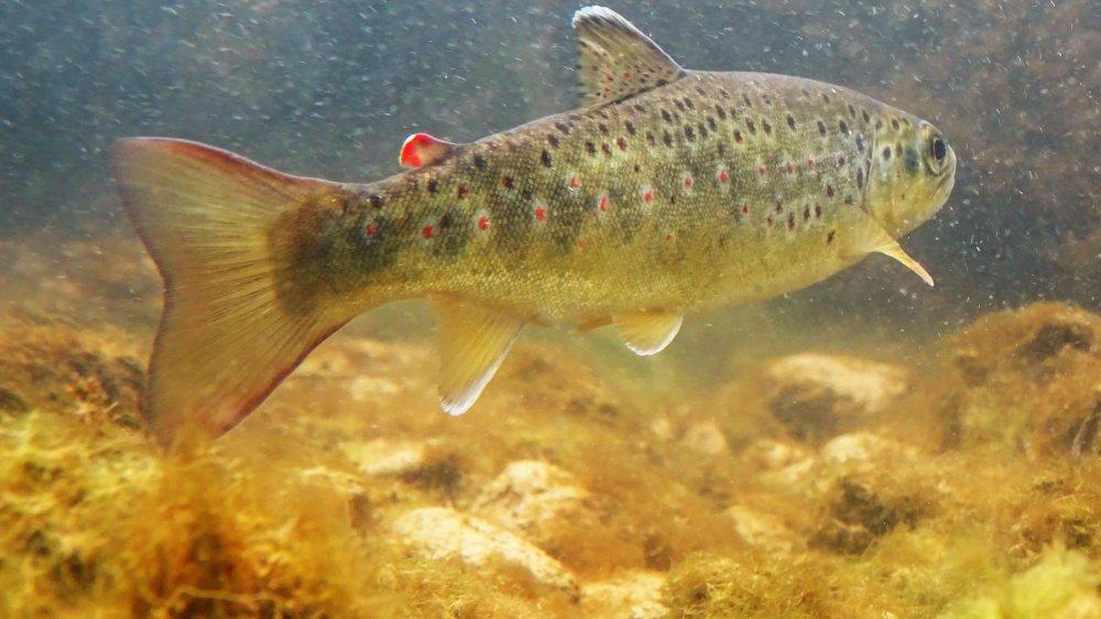 La truite commune est menacée par la hausse des températures des cours d'eau.
