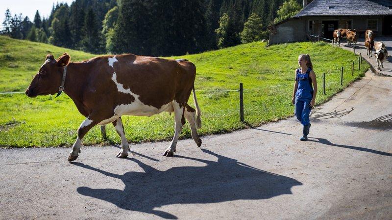 La jeune femme Lena Vauthey conduit les vaches a l'étable pour la traite ce mercredi 18 juillet 2018 sur l'alpage de La Cuva au dessus des Paccots. L'organisation de la Fête des Vignerons en 2019 doit sélectionner une quarantaine de vaches pour participer au spectacle de la Fête.
