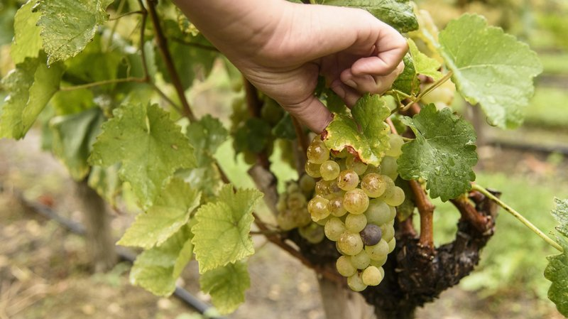 La grêle a provoqué des dommages pour les vignobles de la région.