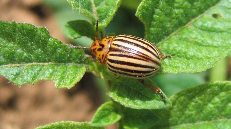 Le coléoptère suit le cycle de la pomme de terre, il devrait donc prochainement aller se nicher dans le sol et attendre le printemps suivant. (illustration)
