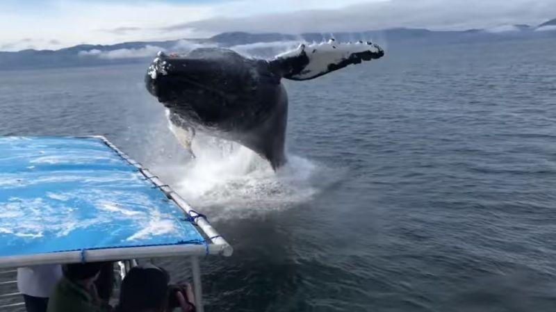 Impressionnant: une baleine saute et frôle un petit bateau de touristes