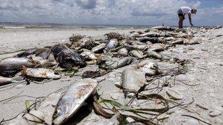 """Floride: une """"marée rouge""""décime la faune aquatique, état d'urgence décrété"""