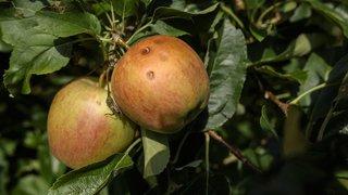 Pourquoi La Côte échappe à la surabondance de fruits