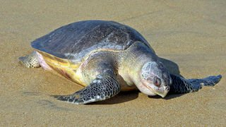 122 tortues marines trouvées mortes sur des plages mexicaines
