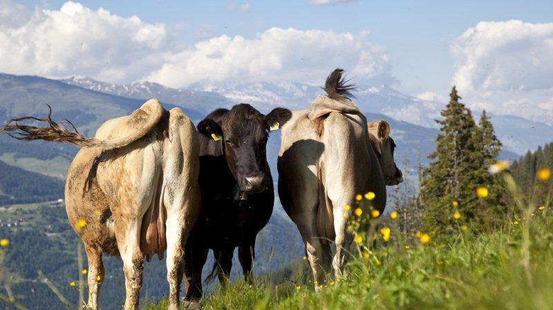 Agriculture: les animaux suisses mangent suisse en très grande majorité