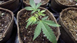 L'accès au cannabis médical devrait être facilité en Suisse