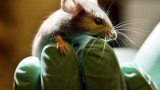 Des chercheurs chinois parviennent à faire des souriceaux à partir de deux souris mâles ou femelles