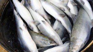 """Situation """"préoccupante"""" pour la pêche de féras dans le lac Léman"""