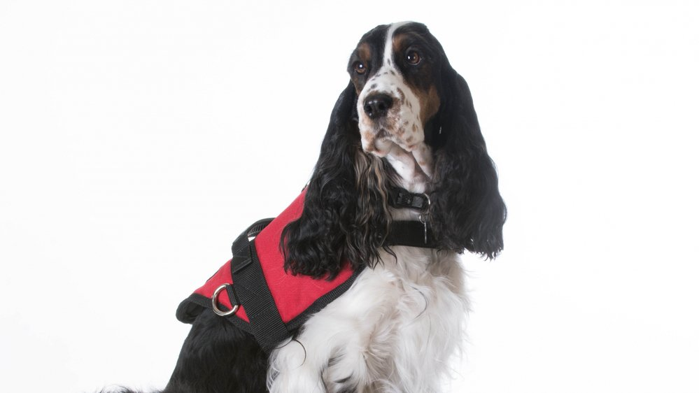 Les chiens d'assistance portent de petites vestes rouges.