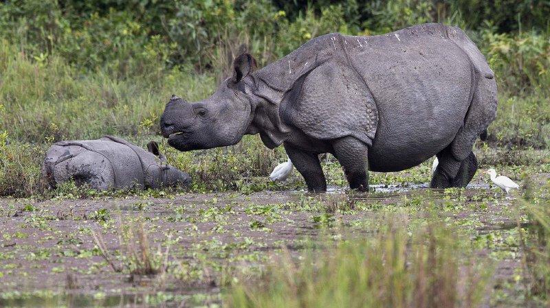 Chine: l'interdiction du commerce de produits issus du tigre et du rhinocéros est finalement maintenue