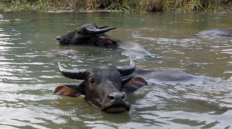 Les buffles se sont noyés dans la bousculade et après être tombés des rives abruptes d'une rivière.