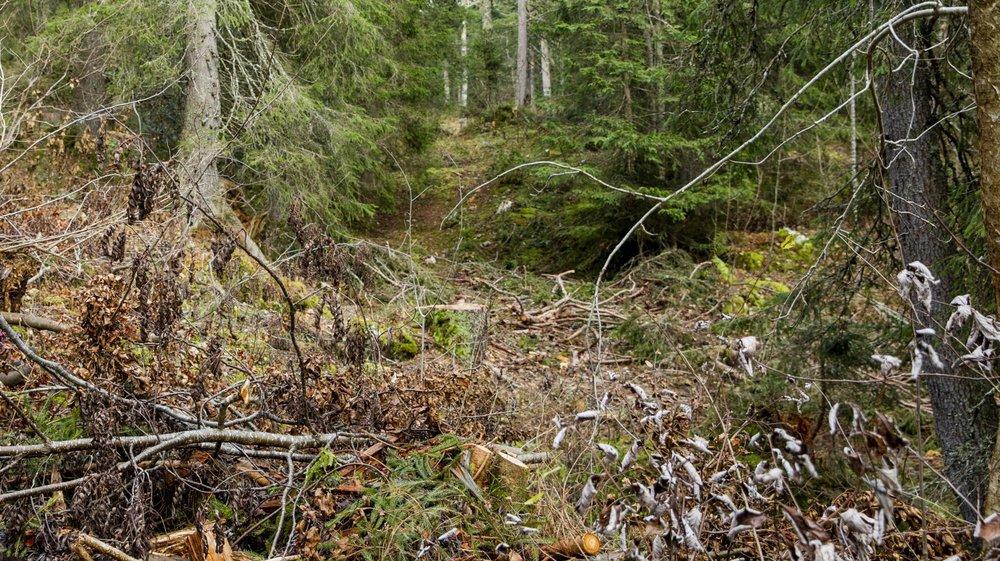 Sur les sites de bûcheronnage dans la région, les branches coupées sont laissées à terre.