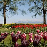 Fête de la Tulipe