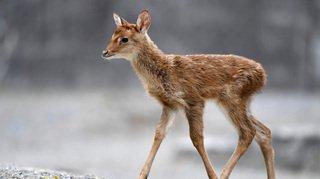 Carnet rose: un centième cerf d'Eld est né au zoo de Zurich