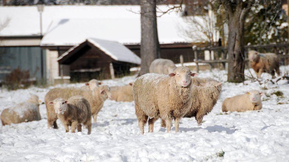 Des dépouilles de moutons ont été retrouvées dans les bois du pied du Jura (Image d'illustration)