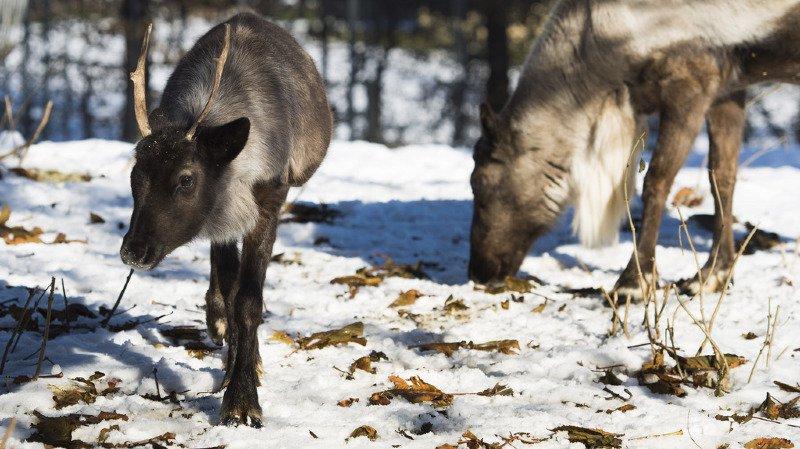 Les rennes disparaissent peu à peu à cause de l'allongement de l'été. (photo d'illustration)