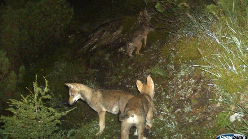 Grisons: la présence d'une deuxième meute de loups est confirmée