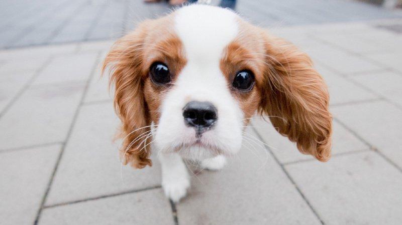 La nouvelle loi porte le nom de Lucy, un petit cavalier king charles qui a échappé à une ferme à chiens.