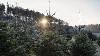 Décos de Noël: l'empreinte carbone d'un sapin artificiel est jusqu'à dix fois supérieure à celle d'un sapin naturel