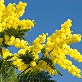 Vente du Mimosa du Bonheur