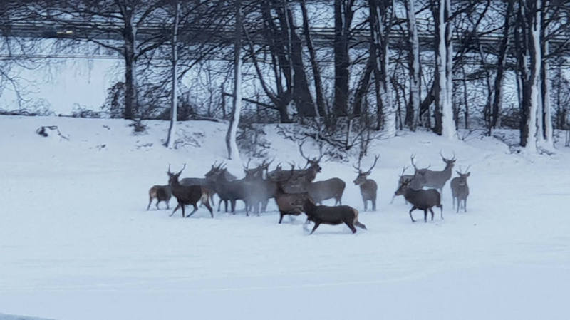 Les cerfs, désorientés, ont été raccompagnés vers la forêt par la police et le garde-chasse.