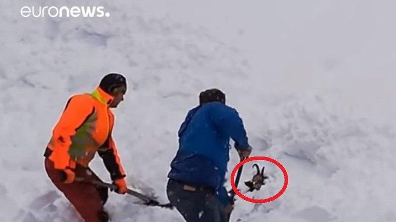 Chamois enseveli sous la neige sauvé de justesse