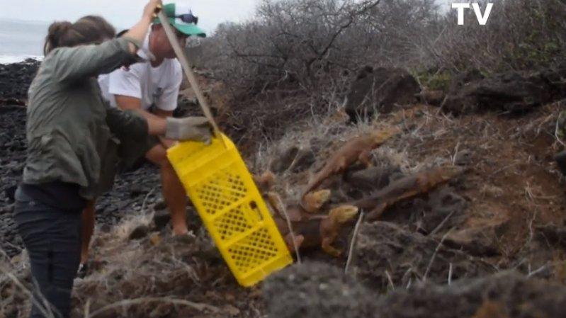 1436 iguanes de l'espèce des Conolophus subcristatus ont été lâchés sur l'île de Santiago.