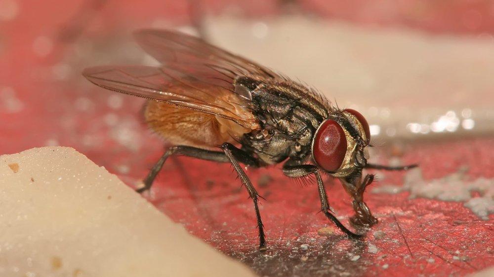 Des mouches domestiques sélectionnées, à l'époque, par des chercheurs soviétiques pourraient participer à régler les problèmes de famine dans le monde.