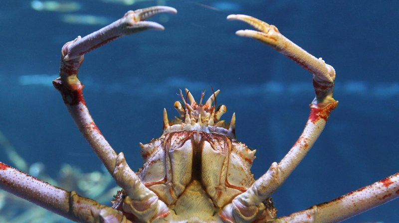 Le crabe-araignée japonais est considéré comme le plus gros des arthropodes. (Archives)